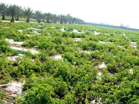 المزارع البحرينية تعاني من غياب الدعم الحكومي لها-تصوير عقيل الفردان