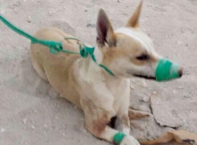 الكلب بعد لجم فمه وتكبيله بالكامل حتى لا يتمكّن من الدفاع عن نفسه أو النباح
