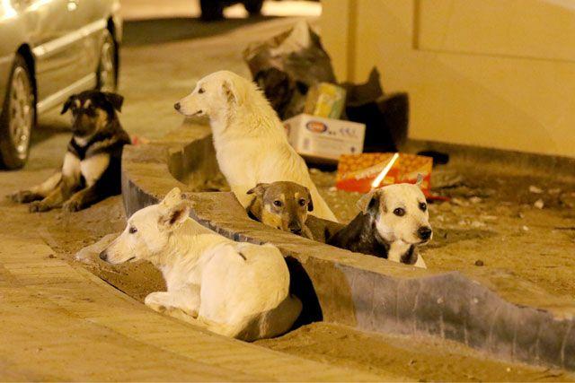 رئيس جمعية الرفق بالحيوان البحرينية أكد لـ «الوسط» أن لا حل دخل حيز التنفيذ فعلياً للحد من موضوع تزايد أعداد الكلاب المشردة - ِتصوير : عيسى إلإبراهيم