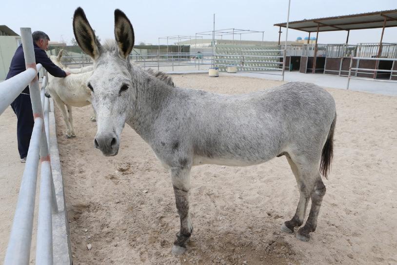 الحمار الذي تبحث جمعية البحرين للرفق بالحيوان عن صاحبه