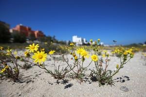 زهور نوير الصفراء تزيّن بر سار