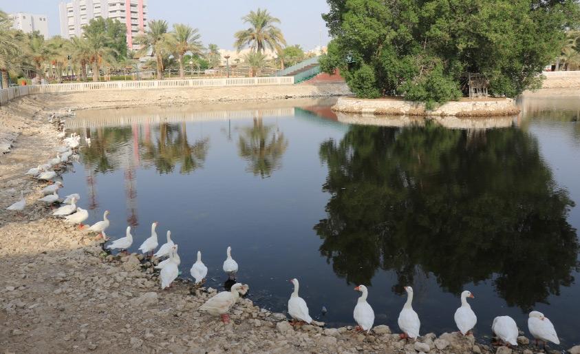 مجموعة من البط في مياه بحرية الحديقة المائية الآسنة