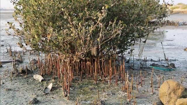 أشجار القرم في خليج توبلي - تصوير : أحمد آل حيدر