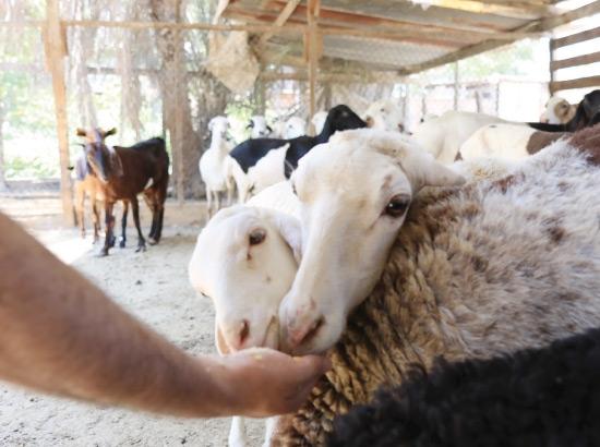 إطعام الخراف قبيل بيعها لموسم عيد الأضحى