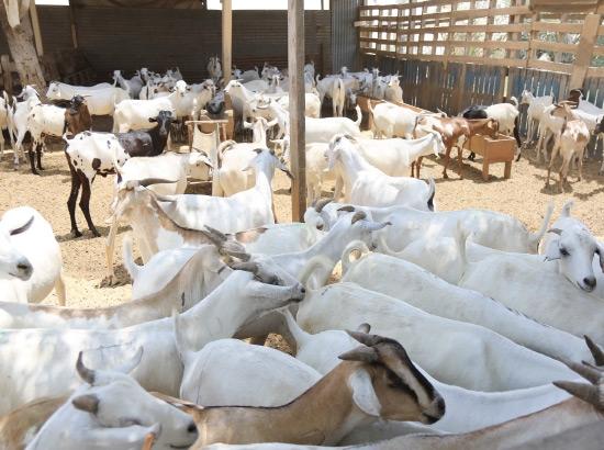 أعداد من «أضاحي العيد» معروضة في مزرعة بالسنابس