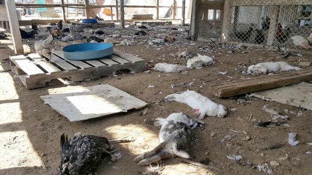الأرانب والدجاج النافقة جراء مهاجمة الكلاب الضالة للمزرعة في العكر