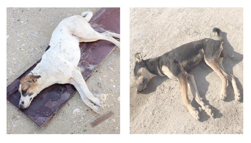 كلاب تعرضت للتسميم