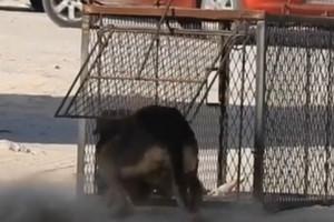 بالفيديو: 'فخاخ البلديات' تثبت فشلها في اصطياد الكلاب الضالة... واللحوم المخدرة بديلاً