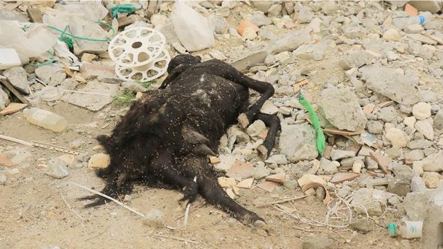 حيوانات نافقة رصدتها «الوسط» في بوري - تصوير : أحمد آل حيدر